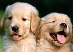金毛(巡回)犬的美容护理